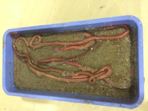 Cebo de mar: Lombriz de arena